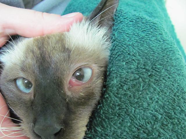 Как кот может заразиться хламидиозом