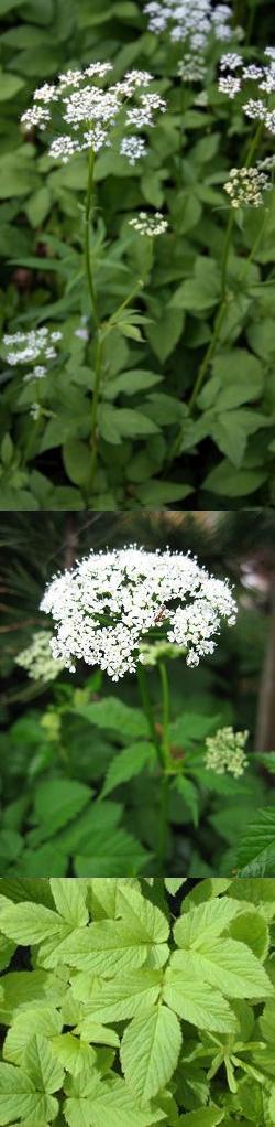 Показать растения сныть крупным планом. Полезная трава сныть, её свойства и фото крупным планом