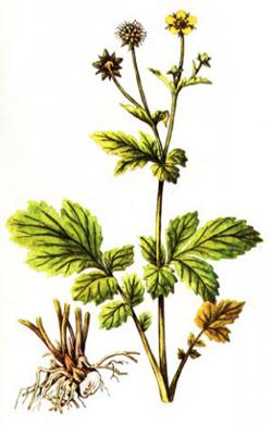 Гравилат городской: лечебные свойства корня растения, применение лекарственной травы, противопоказания