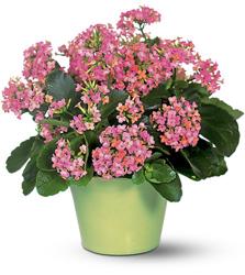 Каланхоэ относится к семейству толстянковых.  Родина этого растения Южная и Юго-Восточная Азия, Ю. Америка.