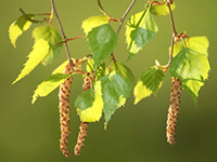 Листья березы: лечебные свойства и противопоказания