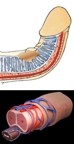 Размер пениса в расслабленном состоянии