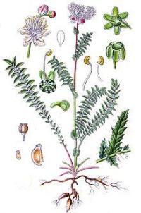 Лабазник - лечебные свойства и противопоказания