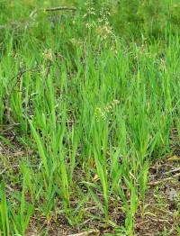 фото зубровка трава