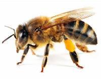 Пчелиный яд и окопник гель бальзам инструкция