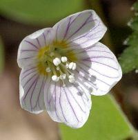 Как выглядит заячья капуста и её лечебные свойства. Заячья капуста или цветок очиток обыкновенный – описание, посадка и выращивание