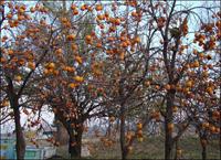 Хурма – солнечный плод