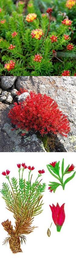 Красная щетка полезное растение для диабетиков