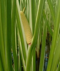 Лечение с помощью растения болотный аир