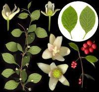 Листья лимонника полезные свойства и противопоказания