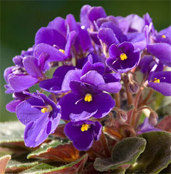 http://www.tiensmed.ru/news/uimg/bc/violet-ti1.jpg