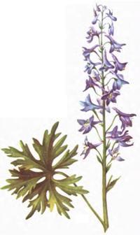 Живокост растение