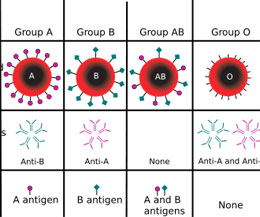 Какие бывают группы крови (резус-факторы) и чем отличаются между собой положительная от отрицательной