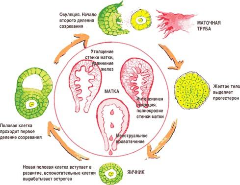 Как выглядит беременность?