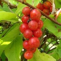 Шизандра он же китайский лимонник о влиянии растения на артериальное давление и здоровье человека в целом