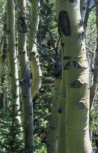 корни осины при простатите