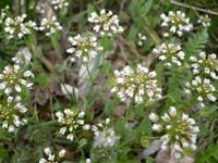 Пастушья сумка - скромное растение из небольшого рода сумочников.