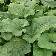 Лечение рака шейки матки соком листьев лопуха