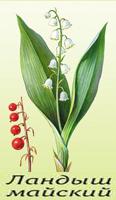Ландыш майский – краткое описание растения