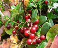 Брусника Ягоды и листья брусники: состав, полезные